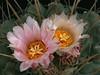 Thelocactus rinconensis -SB301, flower closeup