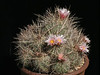 Thelocactus lausseri -from MG 1271.5 seed. Forms large clumps over time. Smaller heads and flowers then the C&J form
