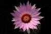T. bicolor ssp schwartzii -- a closer look