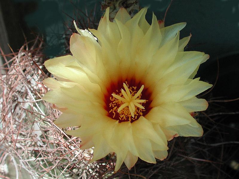 Thelocactus (Hamatocactus) setispinus