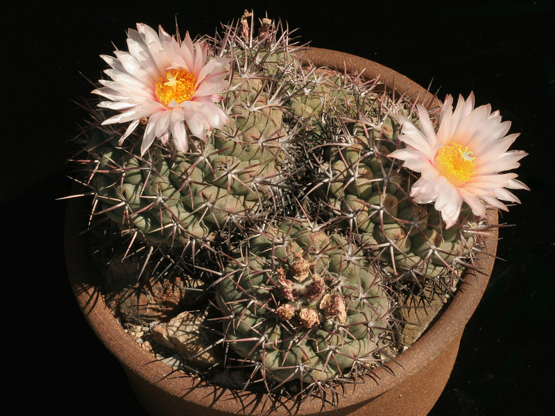 "Thelocactus hexaedrophorus, ISI 90-33, a typical form showing centrals that are absent in T. lloydii.  <br /> A mature clump in 9"" pot."