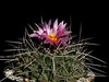 Thelocactus rinconensis v. freudenbergeri -a form with darker flowers and more spines then the species -purchased years ago as T. matudae which it is not