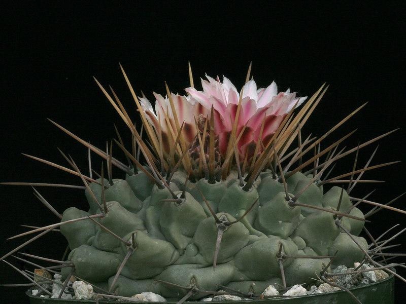 Thelocactus rinconensis  from MG1277 seed, SB301, Rinconda, NL