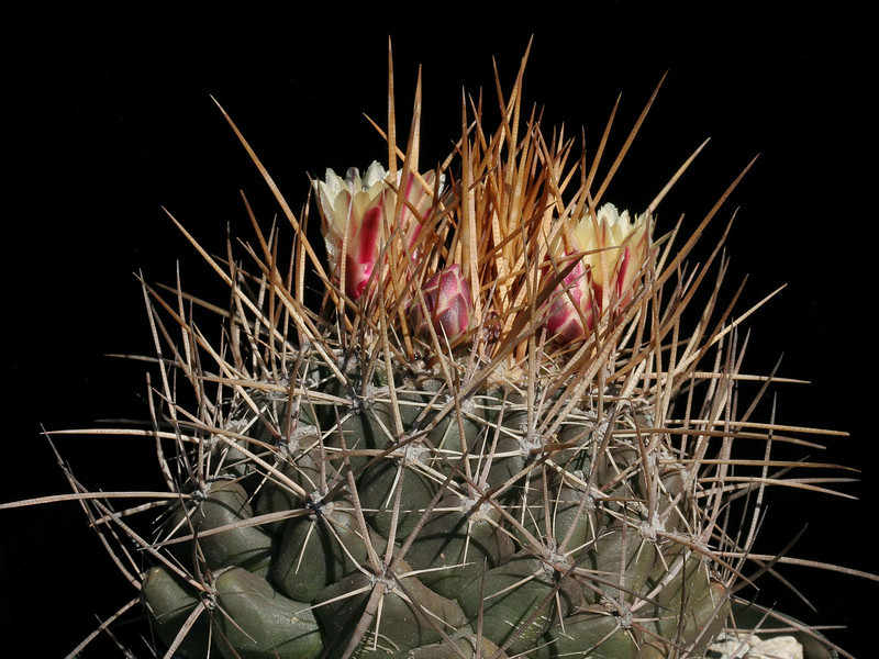 Thelocactus conothelos ssp. flavus -HK362<br /> This plant has been distributed for years as a yellow flowered form of T. tulensis. In 1998 Mosco and Zanovello placed it as a form of conothelos instead - along with T. panorottii.