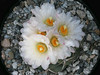 Thelocactus lloydii, covered with the large, white, springtime flowers