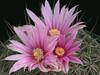 Thelocactus conothelos  -SB302, mature plant flower closeup