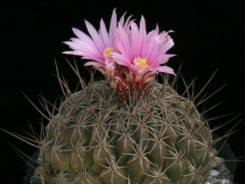 Thelocactus conothelos ssp. conothelos -SB302, Matehuala, San Luis Potosi, Mexico<br /> a mature plant