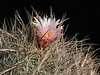 Thelocactus lausseri -from MG 1271.5 seed, a spine view