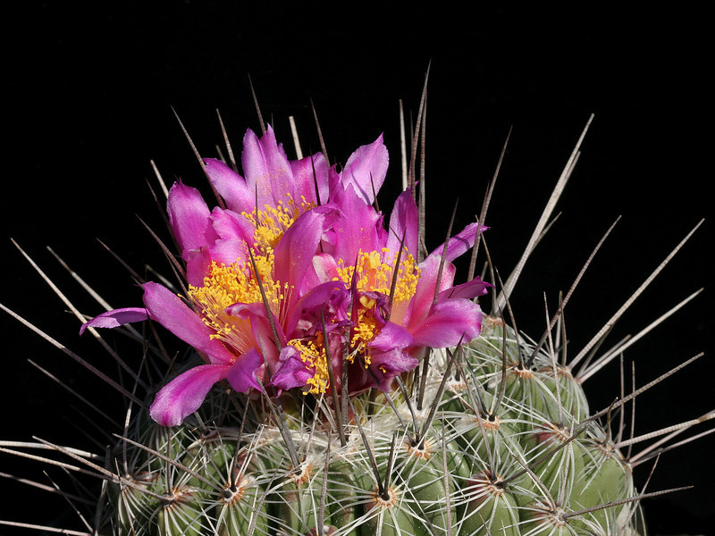 Thelocactus conothelos ssp conothelos - seed of CH237, Tula, Tamaulipas, Mexico<br /> This has quite different flowers