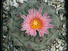 Thelocactus rinconensis v. phymatothelos - from MG1260.6 seed