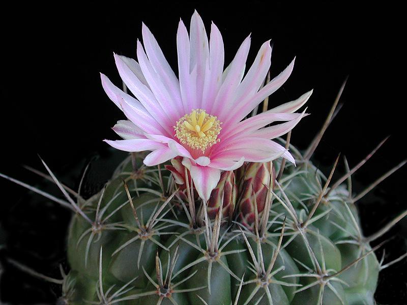 Thelocactus conothelos  -SB302, young plant
