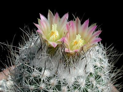 Gymnocactus subterannus v.zagarosae