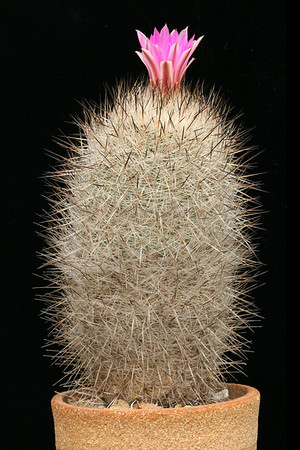 Gymoncactus beguinii -CH202, Arteaga, Coah. Mexico