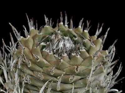 Turbinicarpus schmeidickeanus v. schmeidickeanus