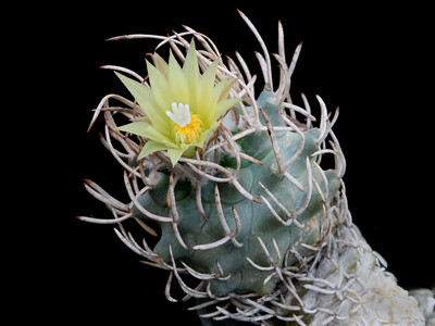 T. flaviflorus -this mature cactus is less then 20mm dia at the largest part!