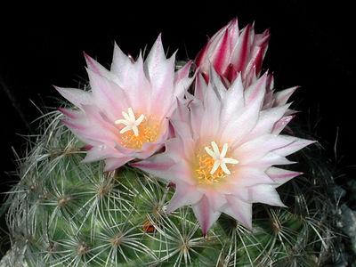 Gymnocactus kunthianus