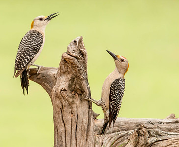 Golden-fronted Woodpeckers
