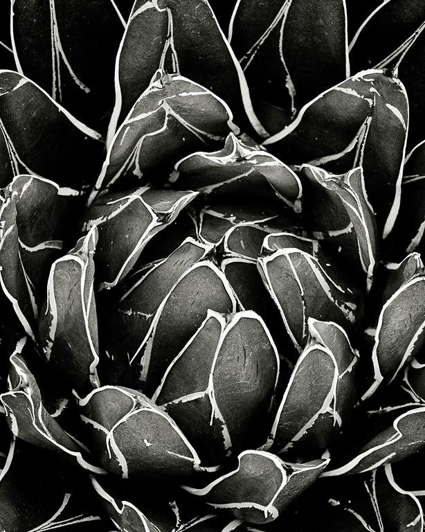 agave victoria-reginae