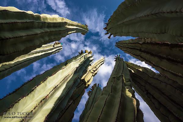 Cactus Skyscrapers