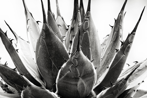 agave applanta 'cream spike'