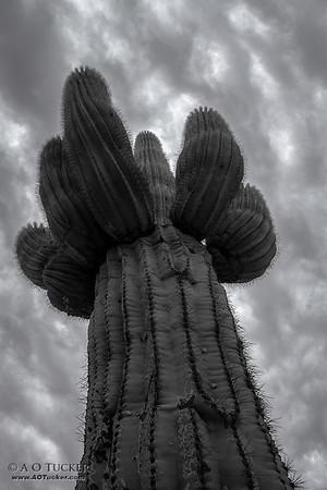 Cactus Stalk