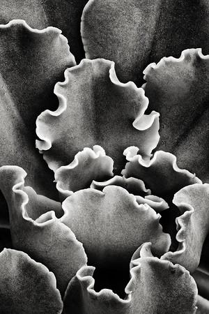 echeveria 'ruffles'