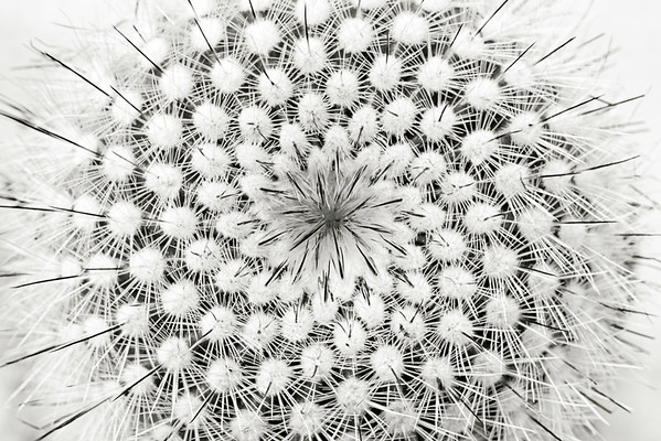 silver ball cactus