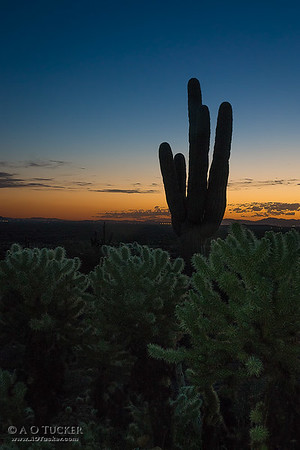 Cactus Gathering At Dusk