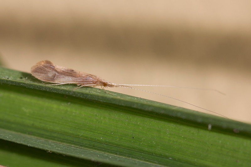 Long-horned Caddisfly (Leptoceridae)