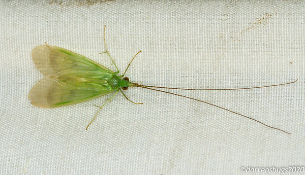 Green caddisfly (Trichoptera) from Panama.