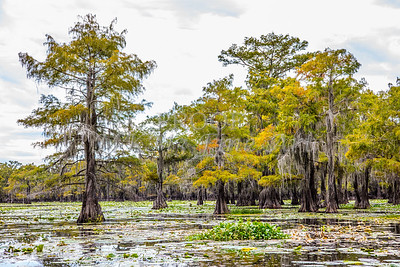319 .1861 Caddo Lake in Color