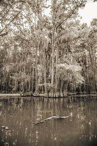 731 .1861 Caddo Lake in Black adn White