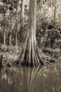 596 .1861 Caddo Lake in Black adn White