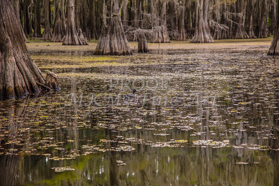 225 .1861 Caddo Lake in Color