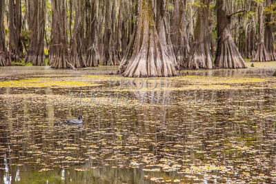 229 .1861 Caddo Lake in Color