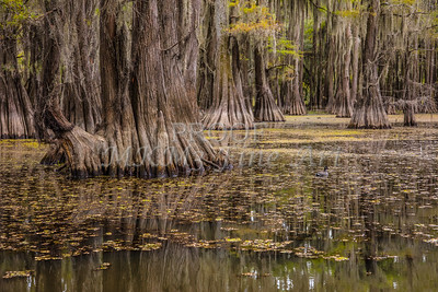 226 .1861 Caddo Lake in Color