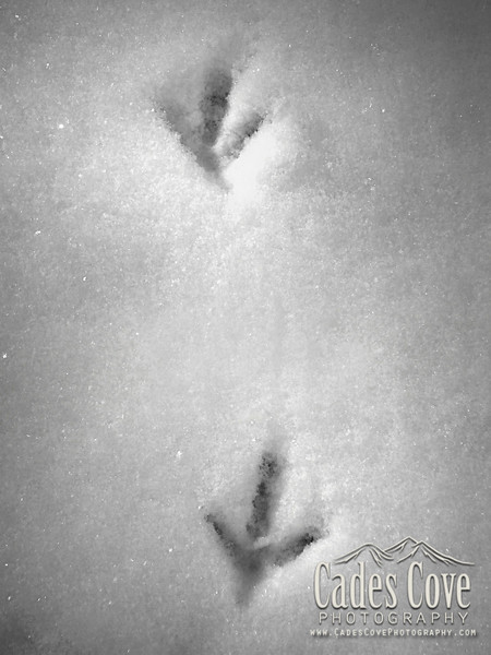 Turkey Tracks in the Snow - Great Smoky Mountains National Park