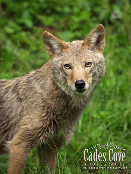 Coyote Portrait, Great Smoky Mountains National Park