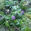 c. 0.8m high flowering May 2016