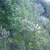 2 plnats on cliff >2m high flowering May 2016 seed shed winter 2015/16