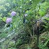 c.1.8m high flowering May 2016