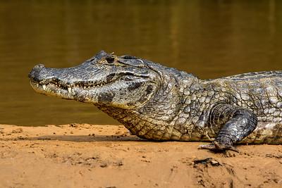 Caiman of the Pantanal, Brazil-40.jpg