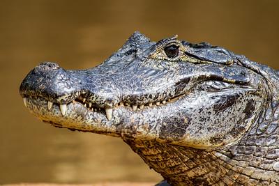 Caiman of the Pantanal, Brazil-41.jpg