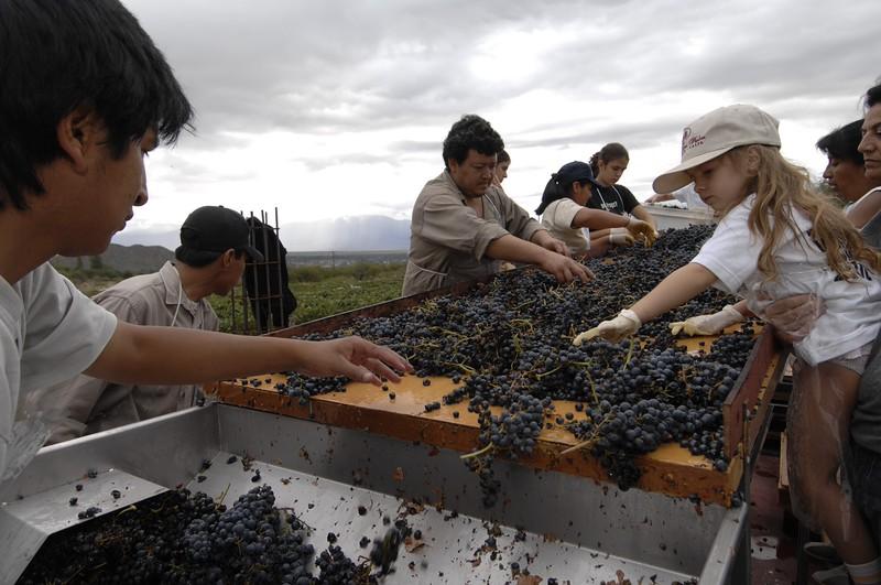Selección de uvas cosechadas, Salta, Argentina