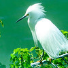 Windblown egret from our hotel window