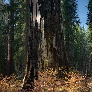 Calaveras Big Trees State Park, Arnold, California