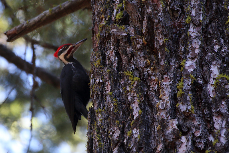Pileated Woodpecker at Calaveras Big Trees male 1