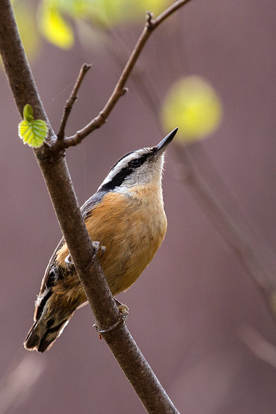 Red-breasted Nuthatch portrait
