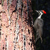 Pileated Woodpecker at Calaveras Big Trees 1