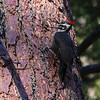Pileated Woodpecker at Calaveras Big Trees 4